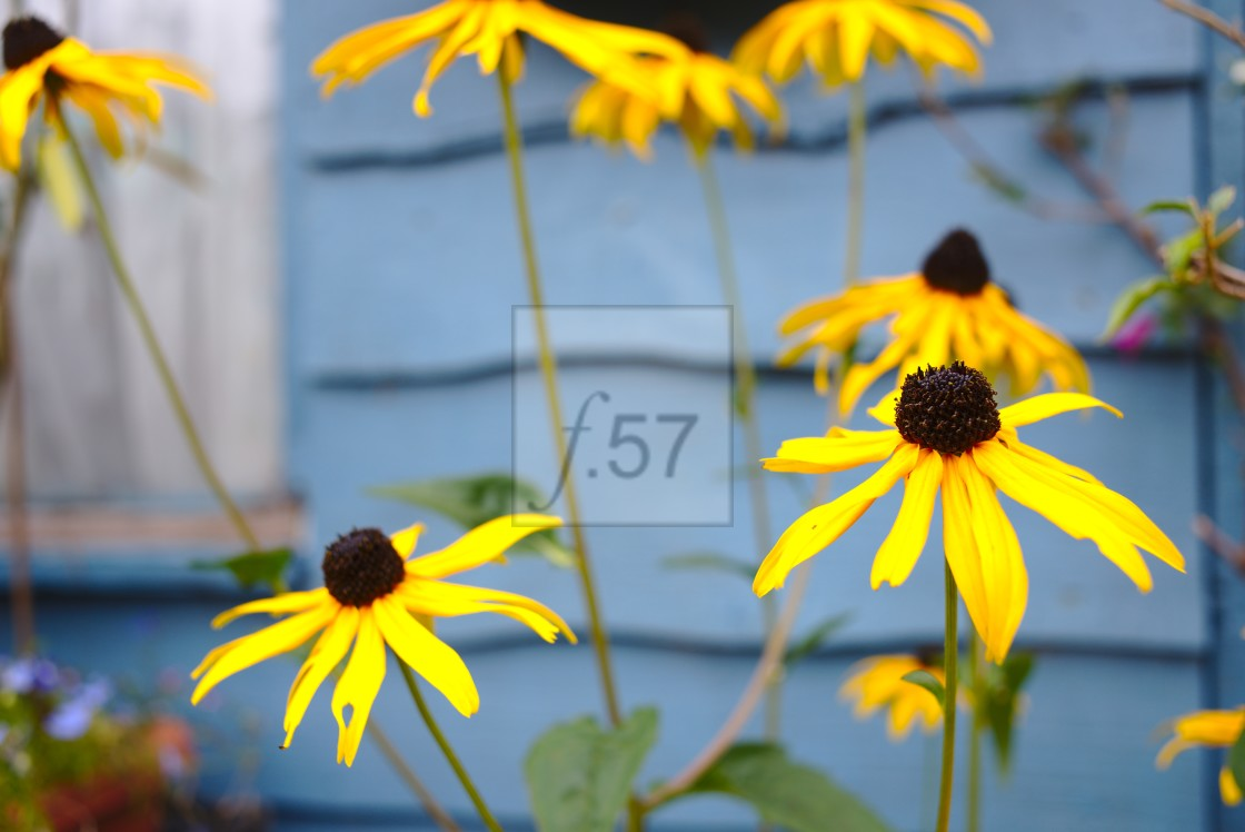 """Rudbeckia coneflower"" stock image"