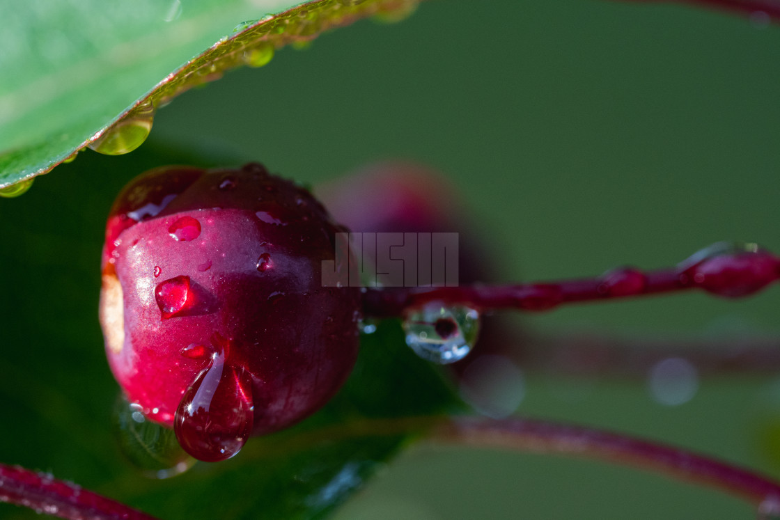 """""""Water Droplets on a Crabapple"""" stock image"""