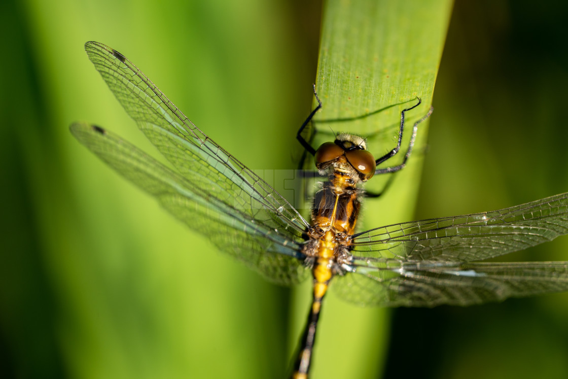 """""""Dragonfly Close Crop on a Reed"""" stock image"""