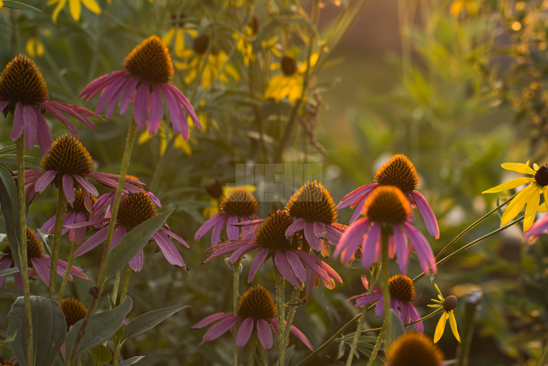 """Purple Coneflowers in a Field at Sunset"" stock image"