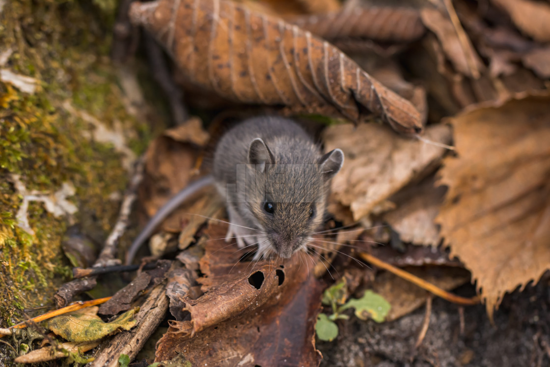"""""""Field Mouse Looking Up From Leaves"""" stock image"""