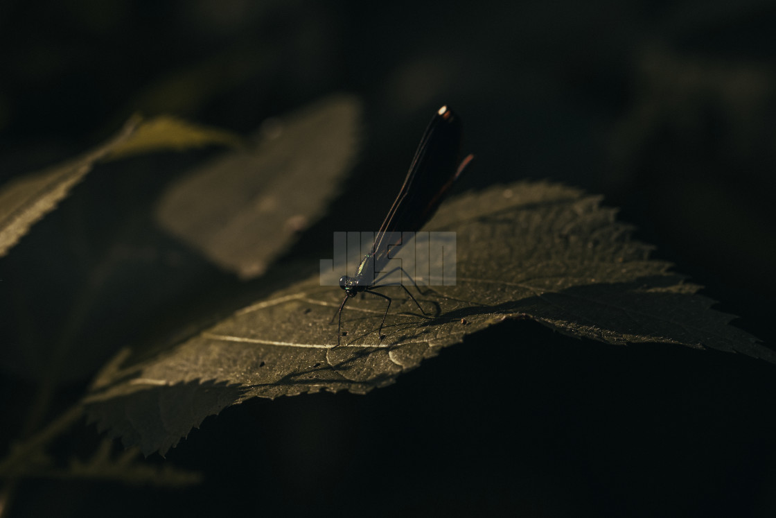 """Damselfly on a Leaf"" stock image"