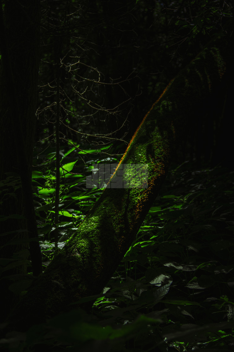 """Mossy Log in a Dark Forest"" stock image"