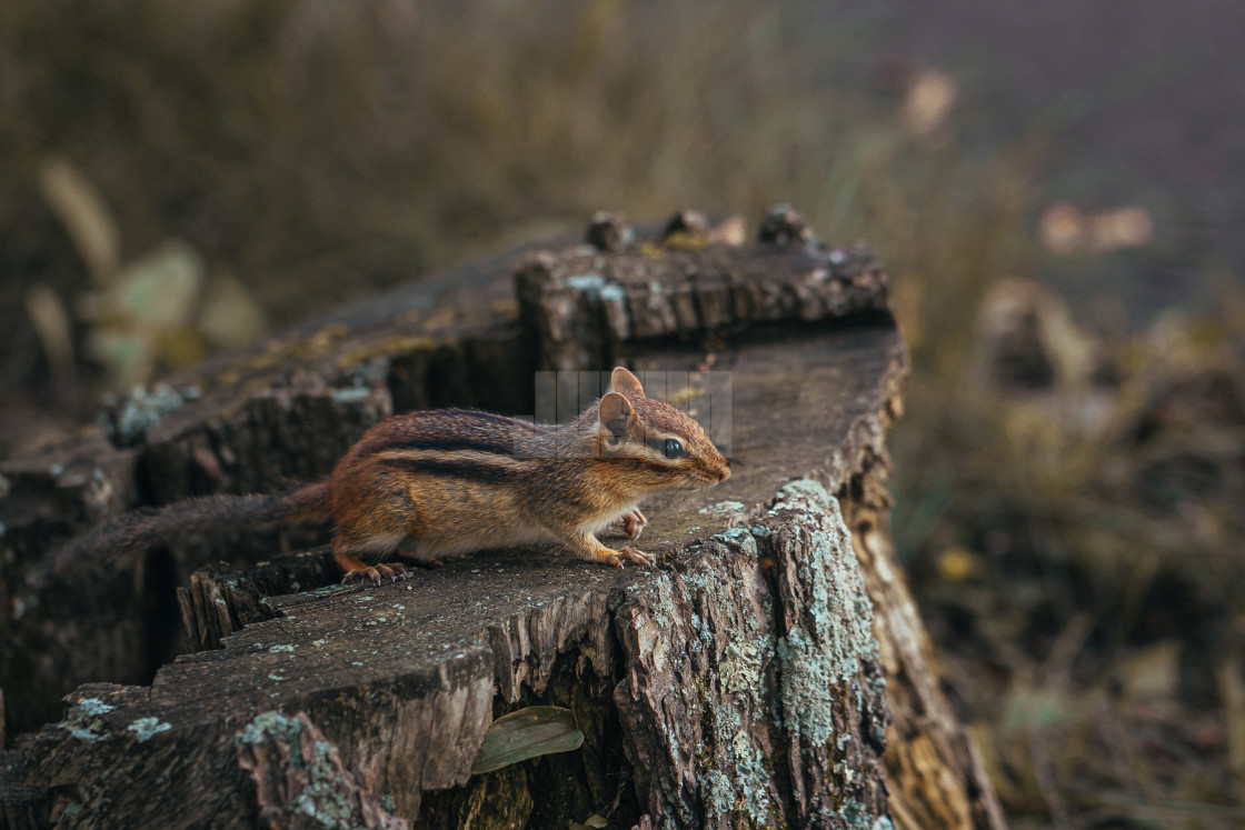 """""""Chipmunk Watching from a Stump"""" stock image"""