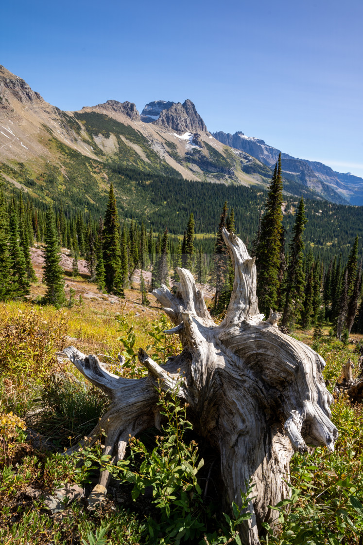 """Dead White Tree Stump with Valley and Mountains in the Backgroun"" stock image"