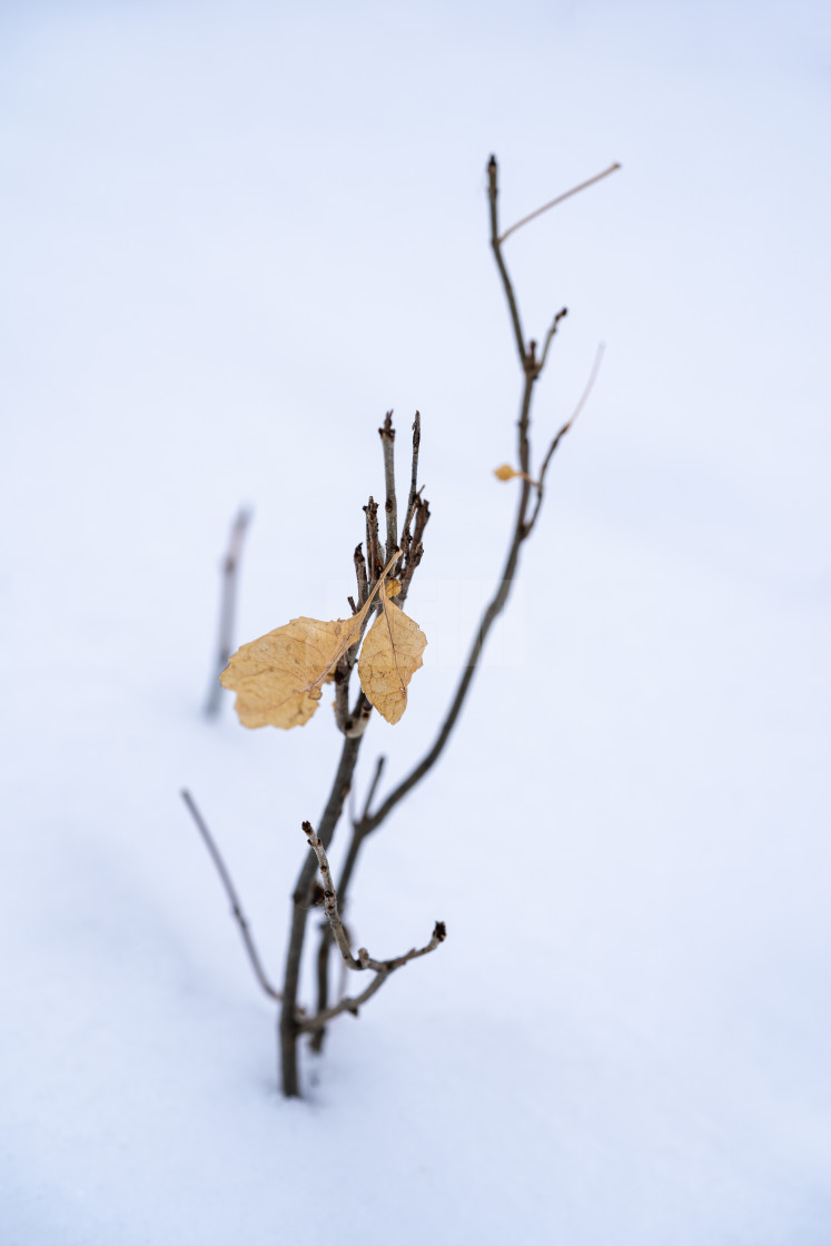 """small twig coming through the fresh snowfall"" stock image"