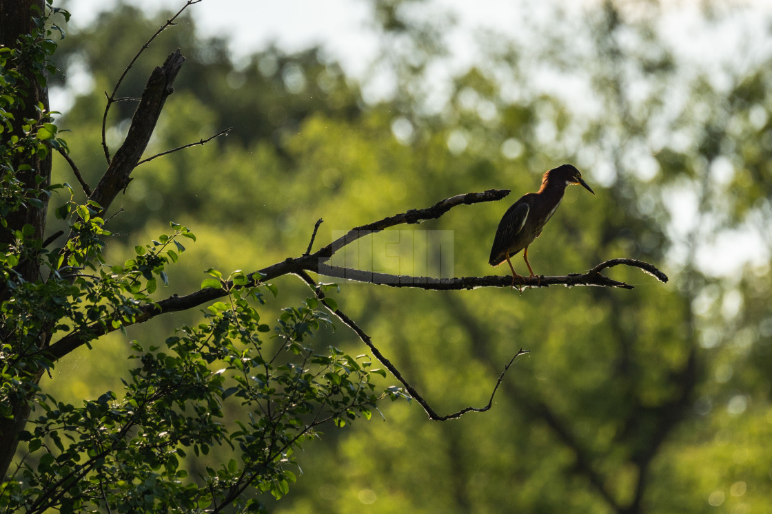 """green heron sitting in a tree hunting for prey in the lake"" stock image"