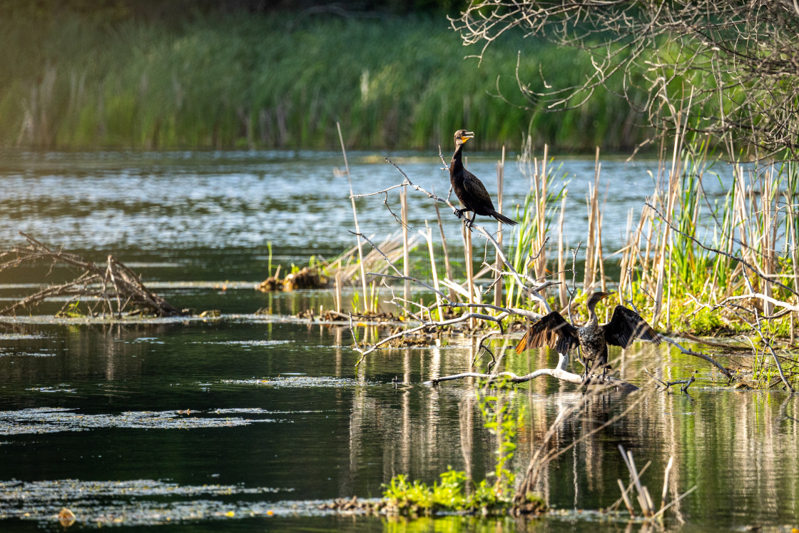 """""""two double-crested cormorant sitting on branches on a flood isla"""" stock image"""