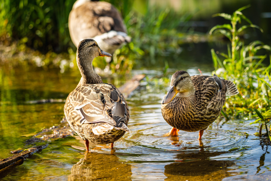 """ducks wading in a puddle on a trail after a rain storm"" stock image"