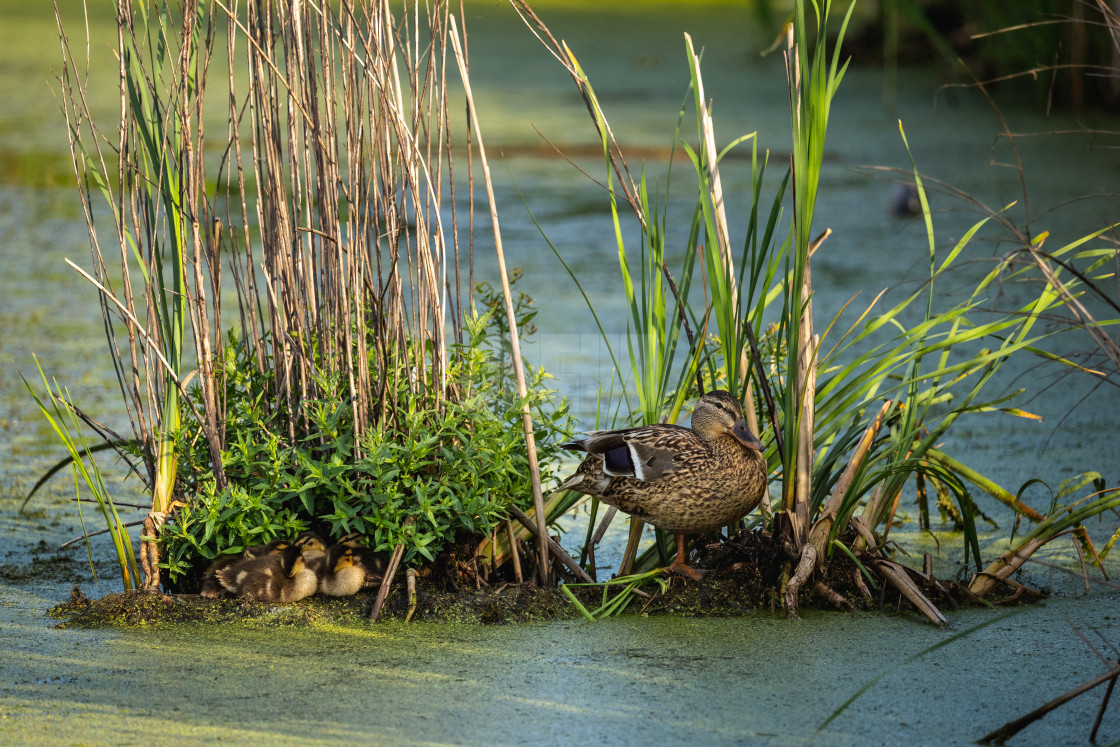 """""""mother mallard duck with her duckings nestled into a makeshift p"""" stock image"""