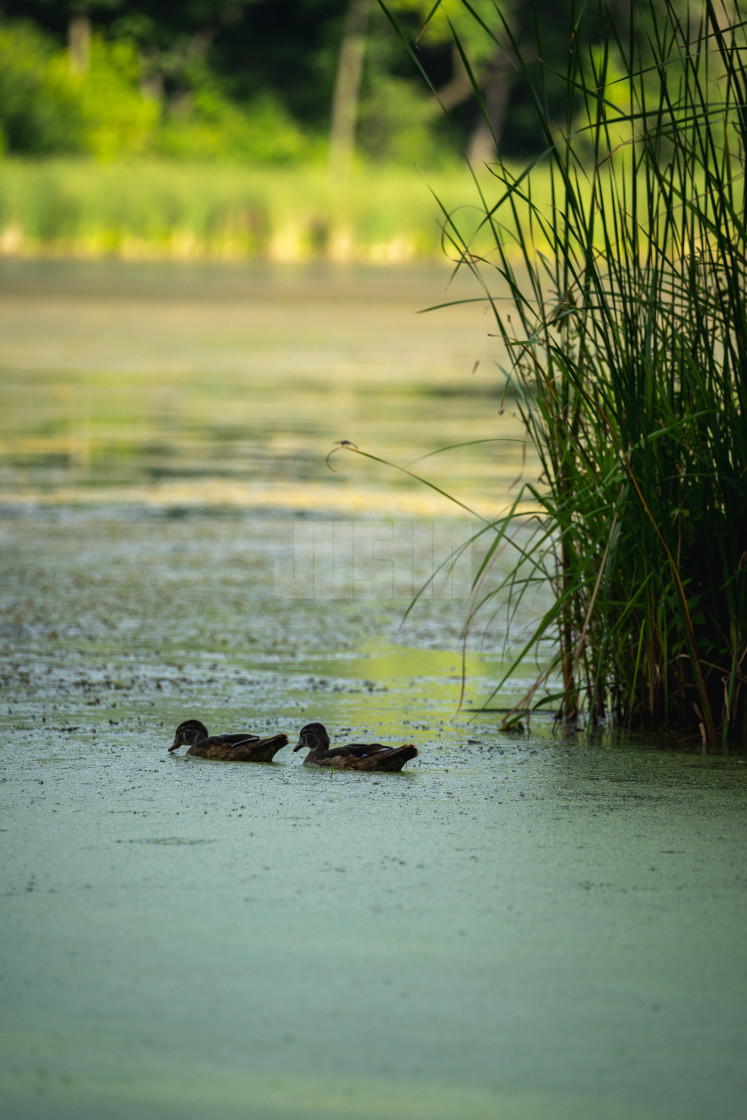 """baby ducks floating in a lake near reeds"" stock image"