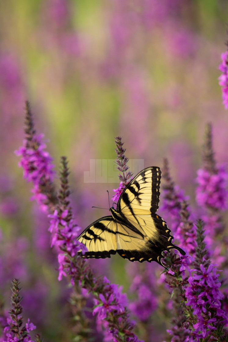 """macro image of a butterfly on a flower"" stock image"