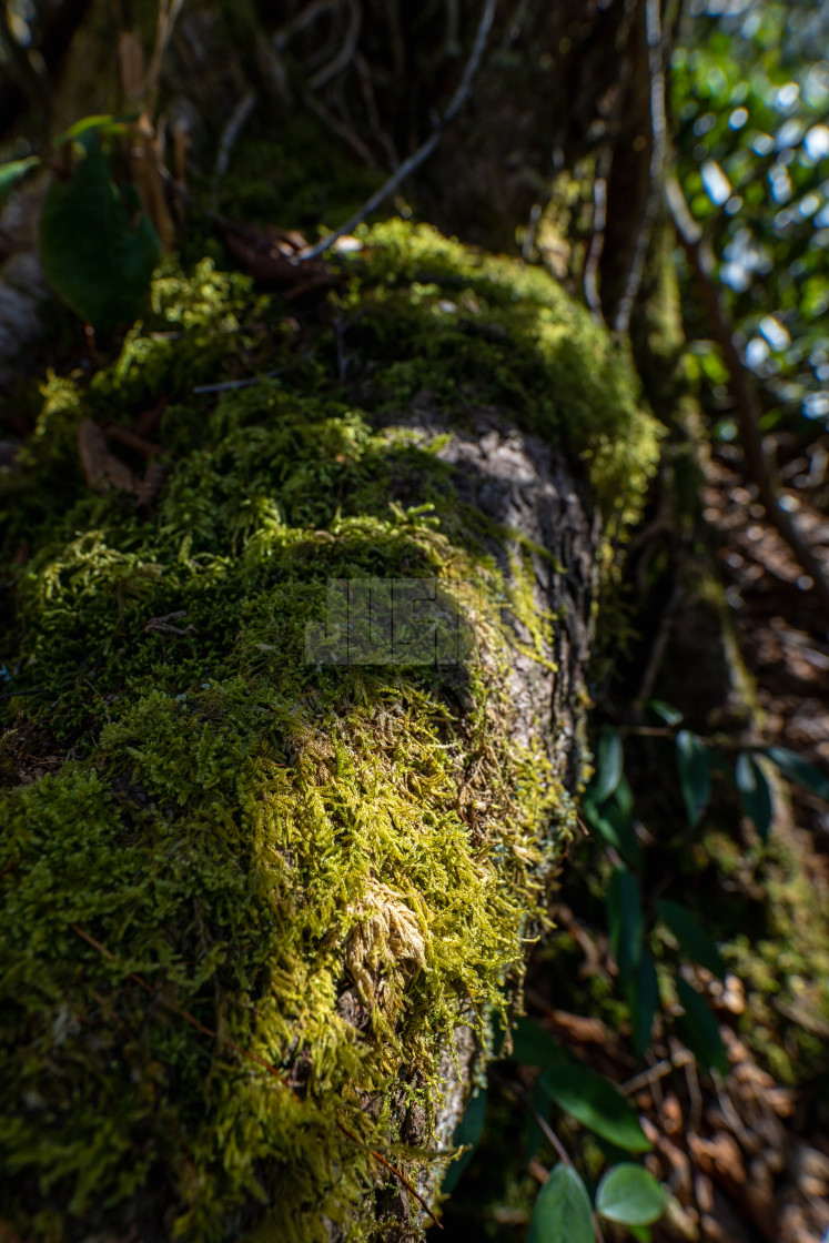 """sunlit moss growing on the exposed roots of a tree"" stock image"