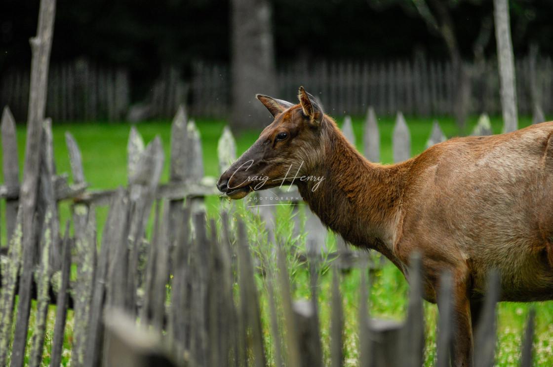 """""""Fence line Elk"""" stock image"""