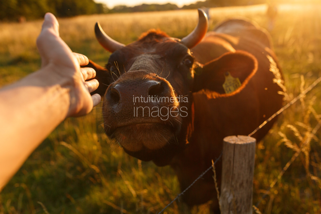 """Hand reaching to a cow"" stock image"