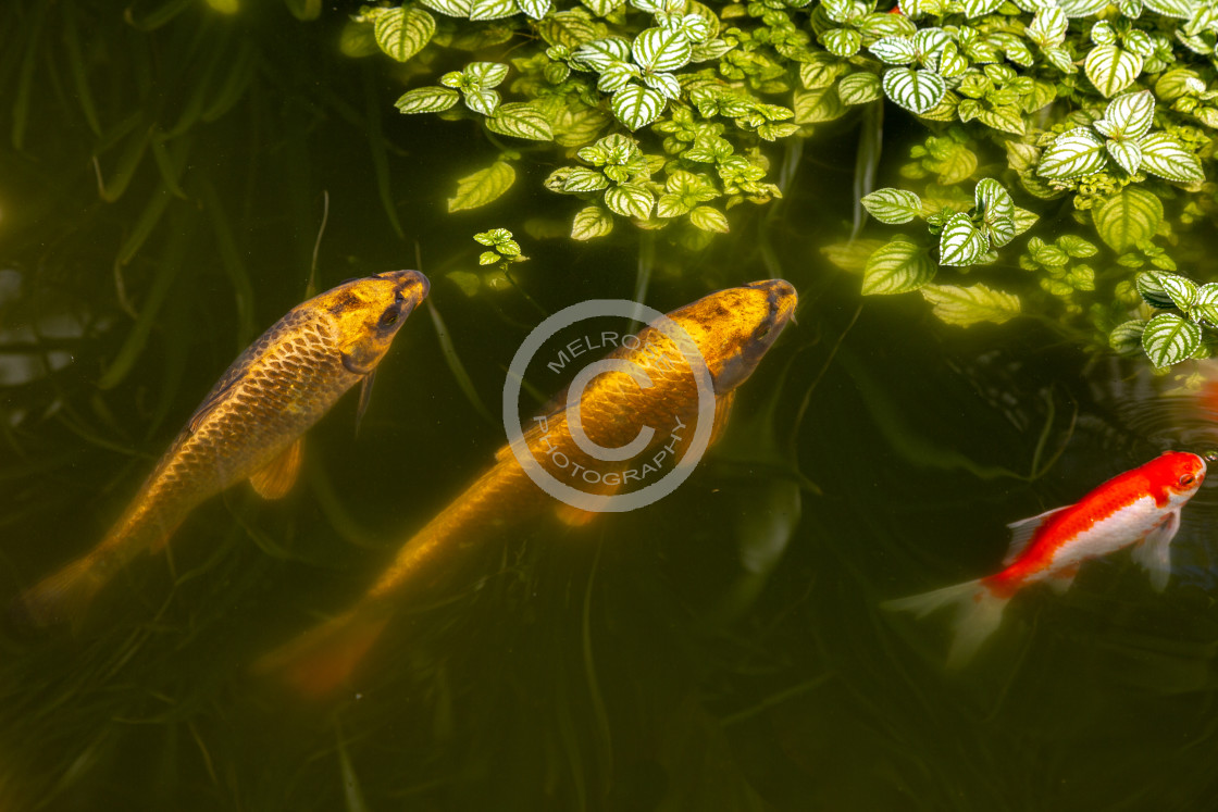 """gold fish in a pond three"" stock image"