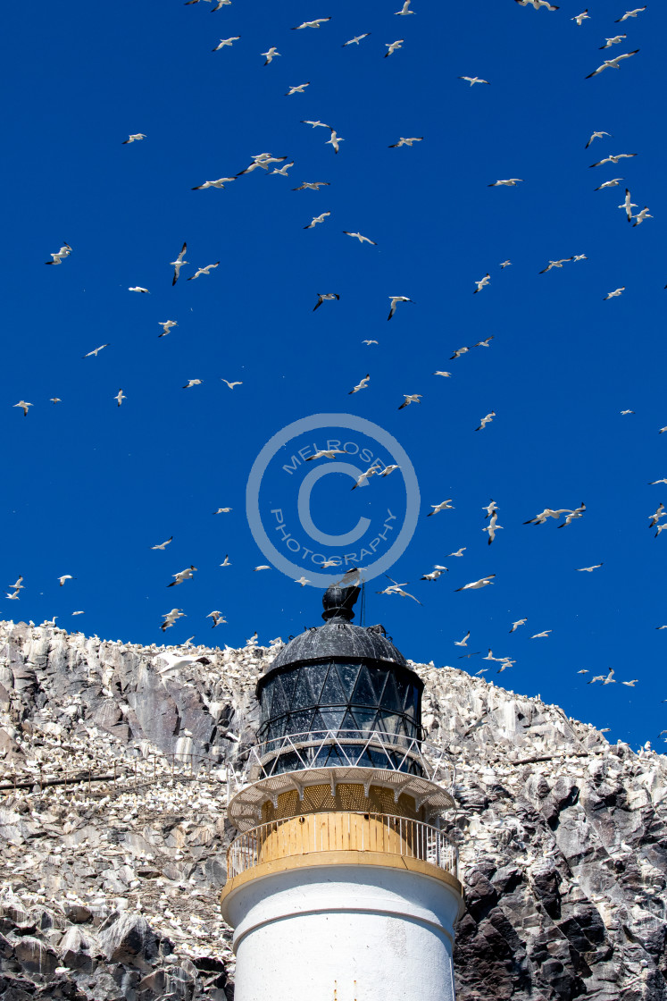 """Gannets on Bass Rock"" stock image"