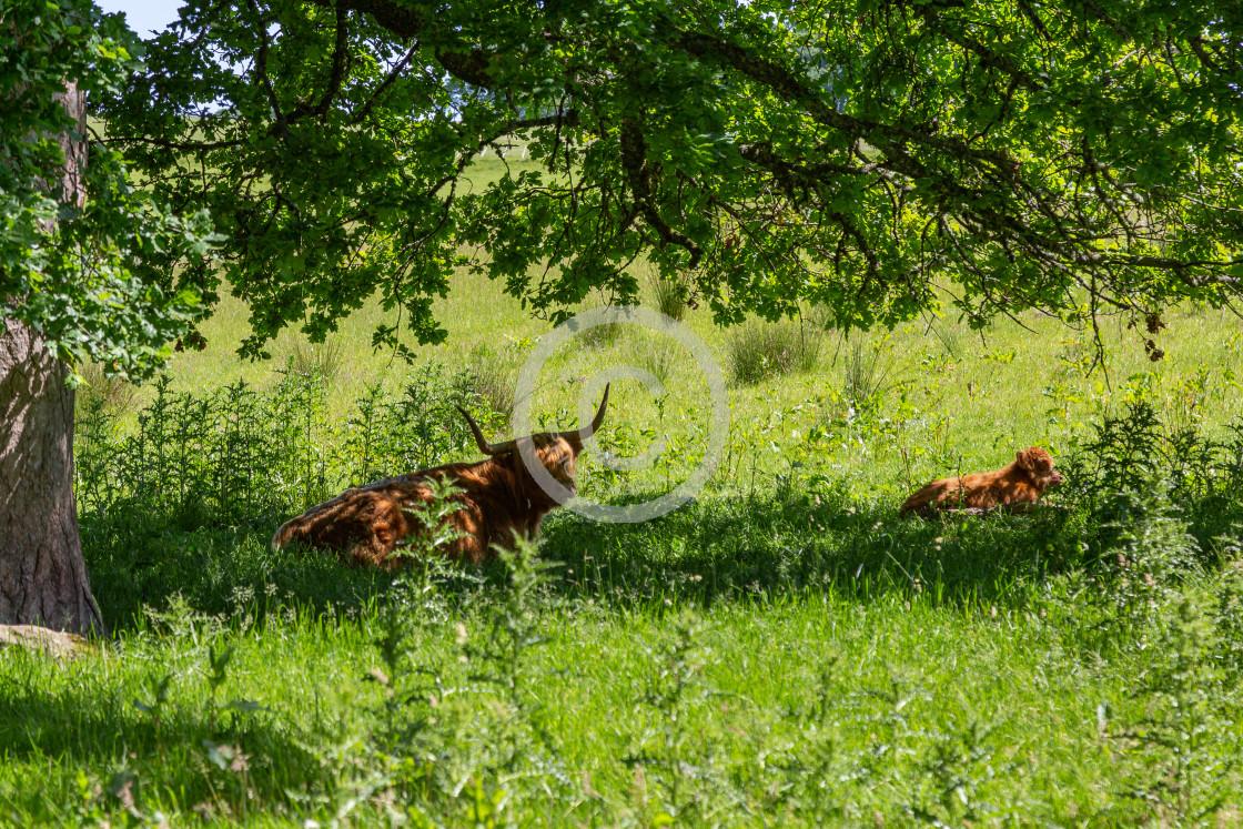 """Highland Cow's under tree"" stock image"