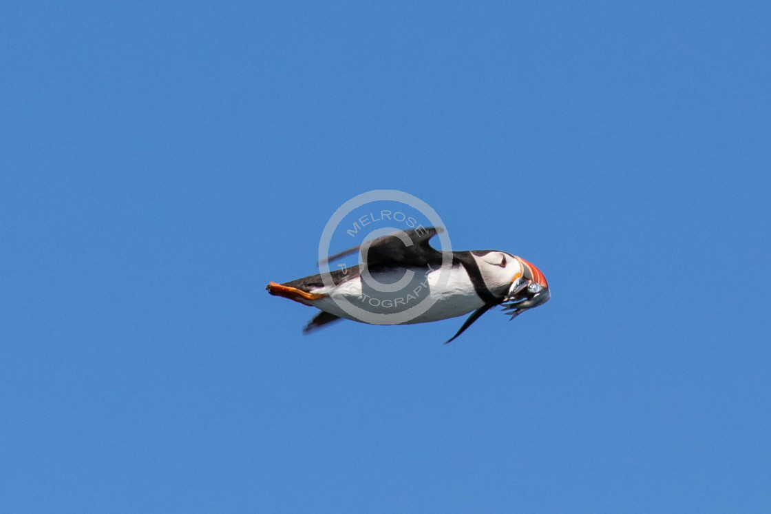 """""""Puffin flying back to the nest with food"""" stock image"""