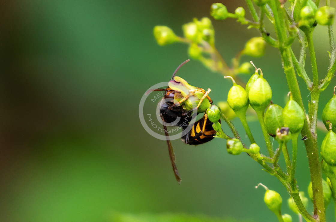 """Wasp holding on to plant"" stock image"