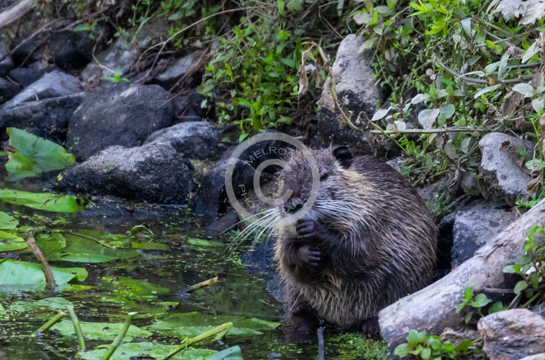 """""""Coypu water rat animal"""" stock image"""