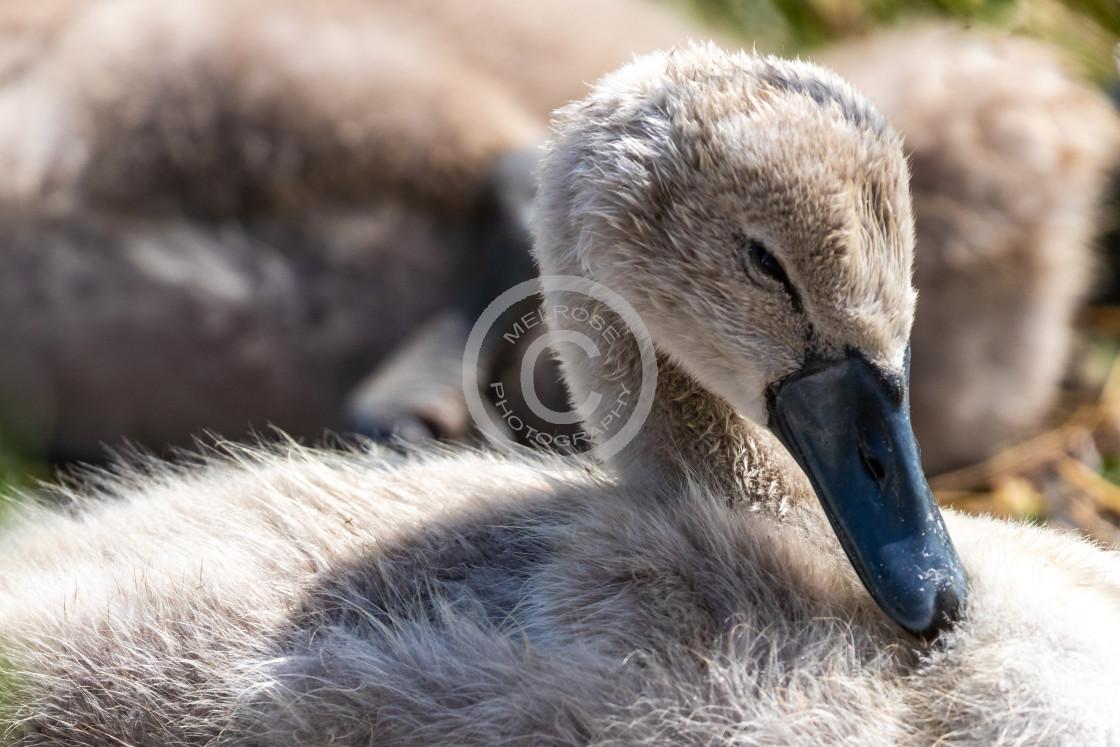 """Cygnet Baby Swan"" stock image"