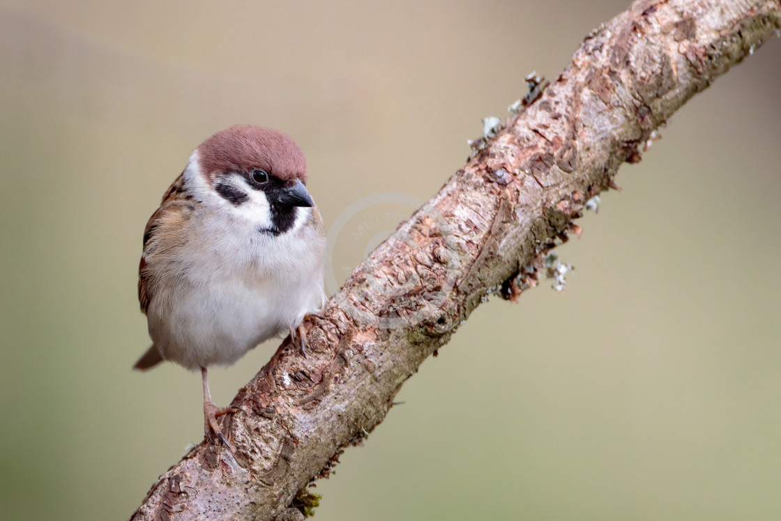 """Tree Sparrow perched on a branch"" stock image"