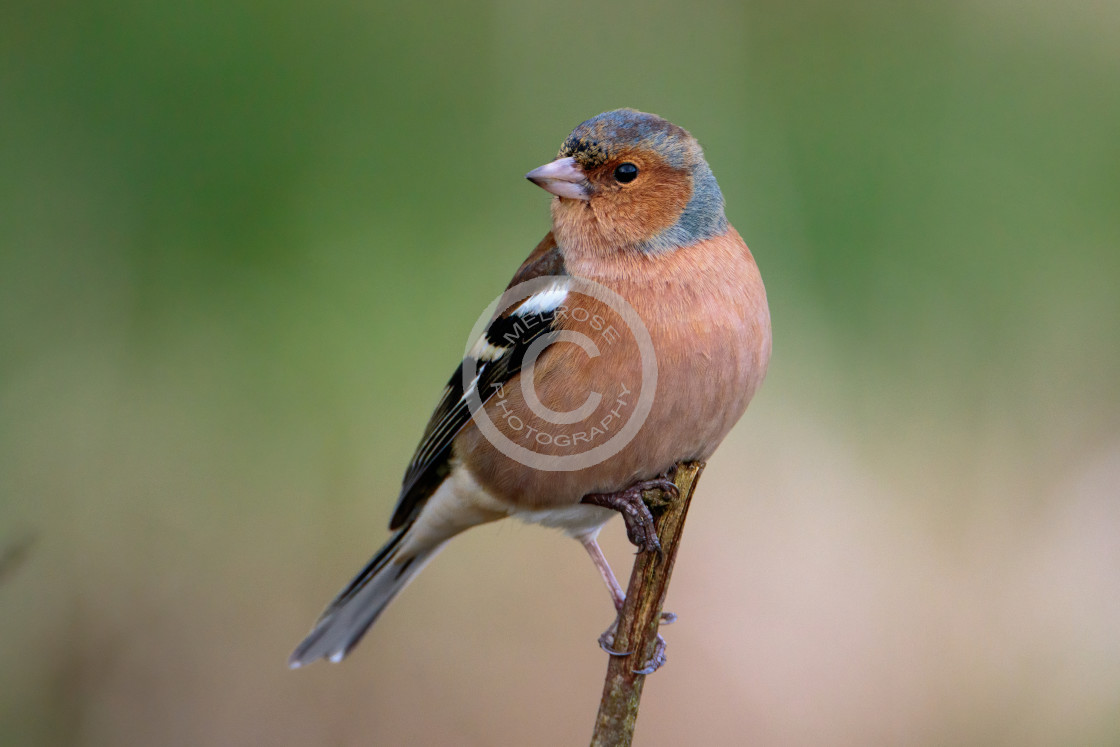 """Beautiful Chaffinch perched and looking around."" stock image"