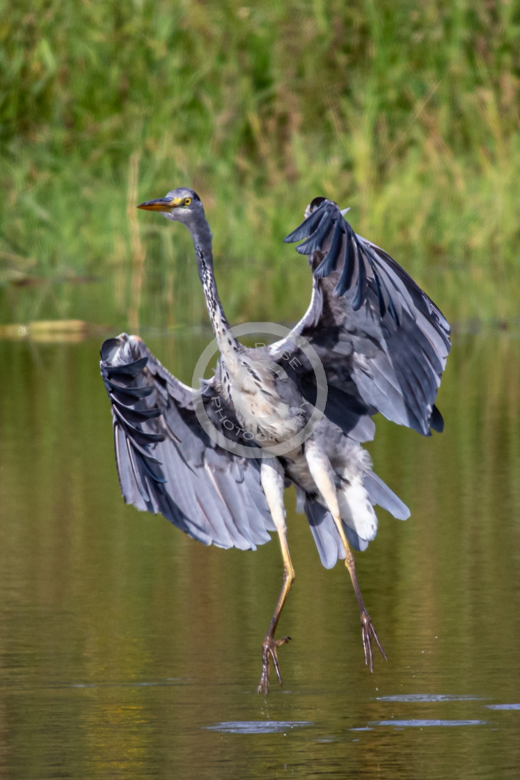 """The graceful Grey Heron on the hunt"" stock image"