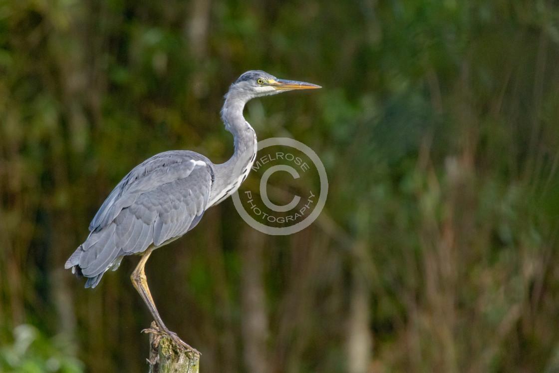 """Grey Heron perched and waiting"" stock image"