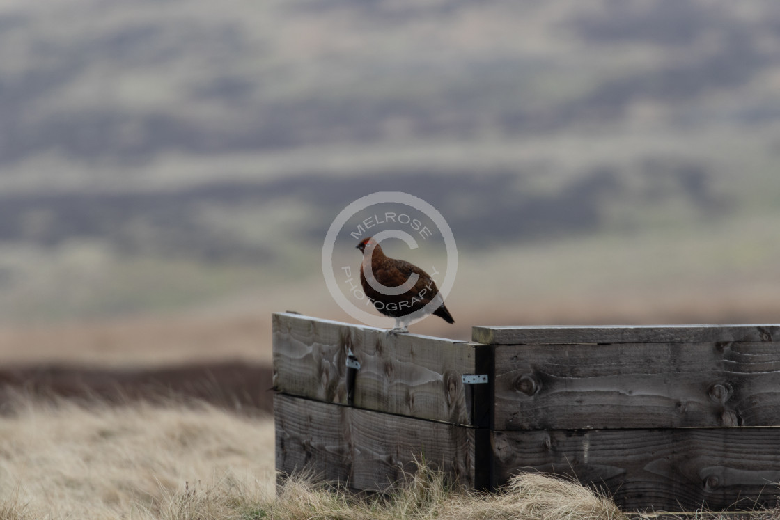 """""""A grouse on the pennines"""" stock image"""