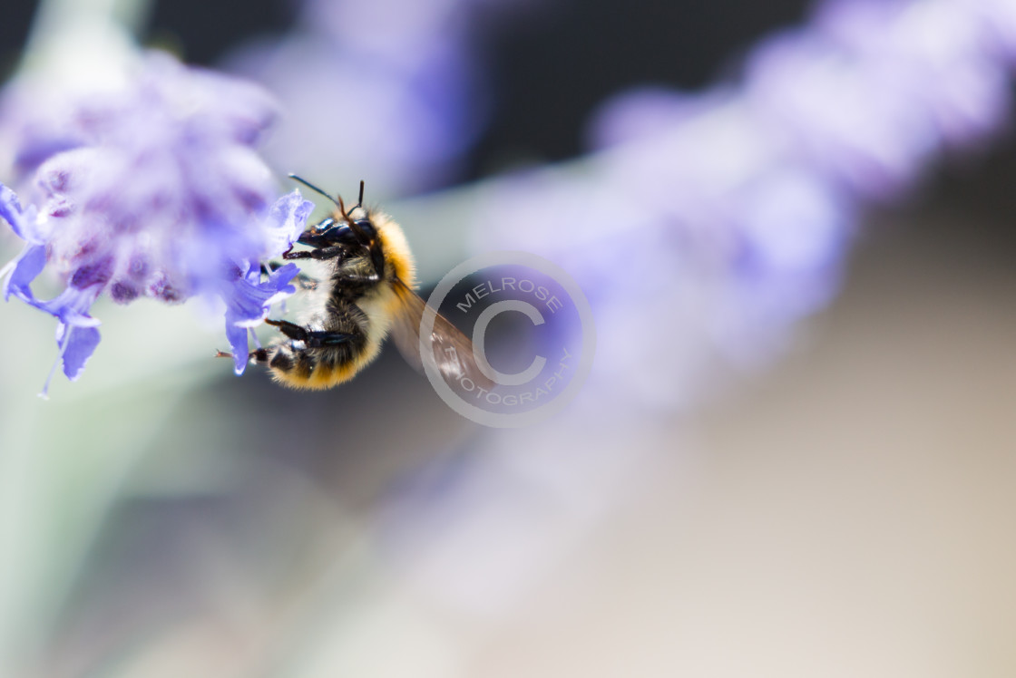 """Bumbel Bee getting on with Business"" stock image"