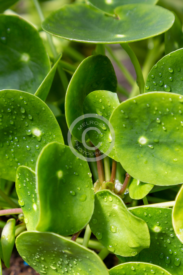 """Green Hot House Plants with Moisture"" stock image"