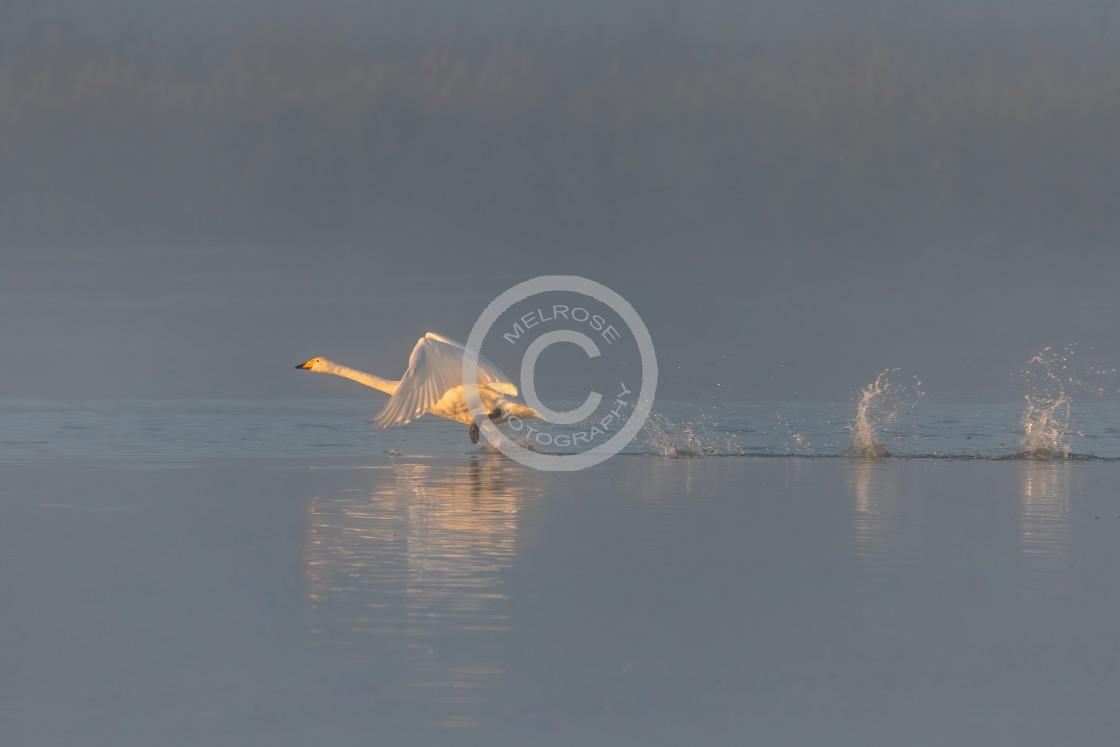 """Swan taking off from the water running to build up speed"" stock image"