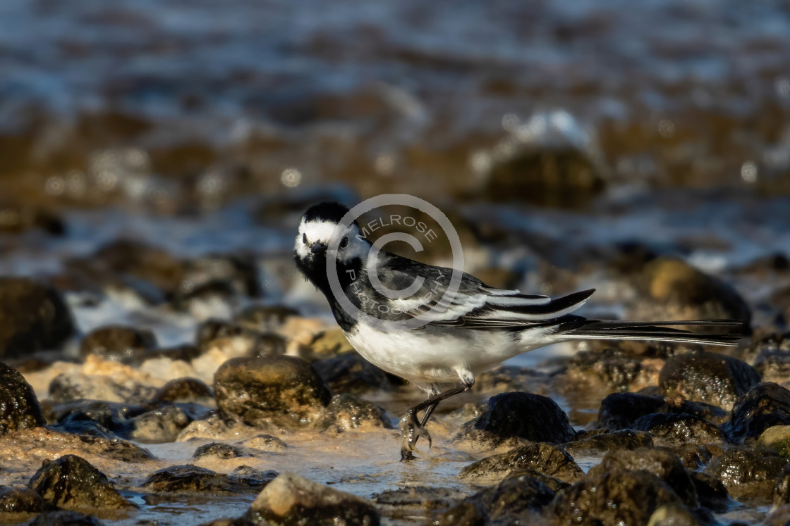 """""""Pied Wagtail hunting in the rocks looking at me"""" stock image"""