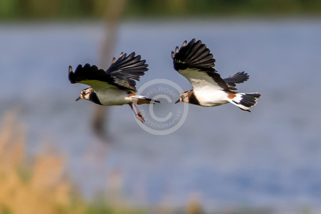 """""""Lapwings or Peewits duel flight"""" stock image"""