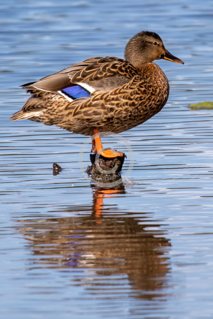 """""""Mrs Mallard standing out of the water"""" stock image"""