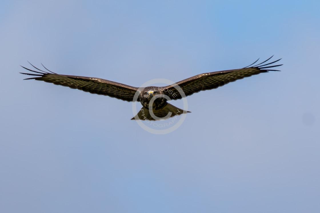 """Buzzard in flight looking straight ahead"" stock image"