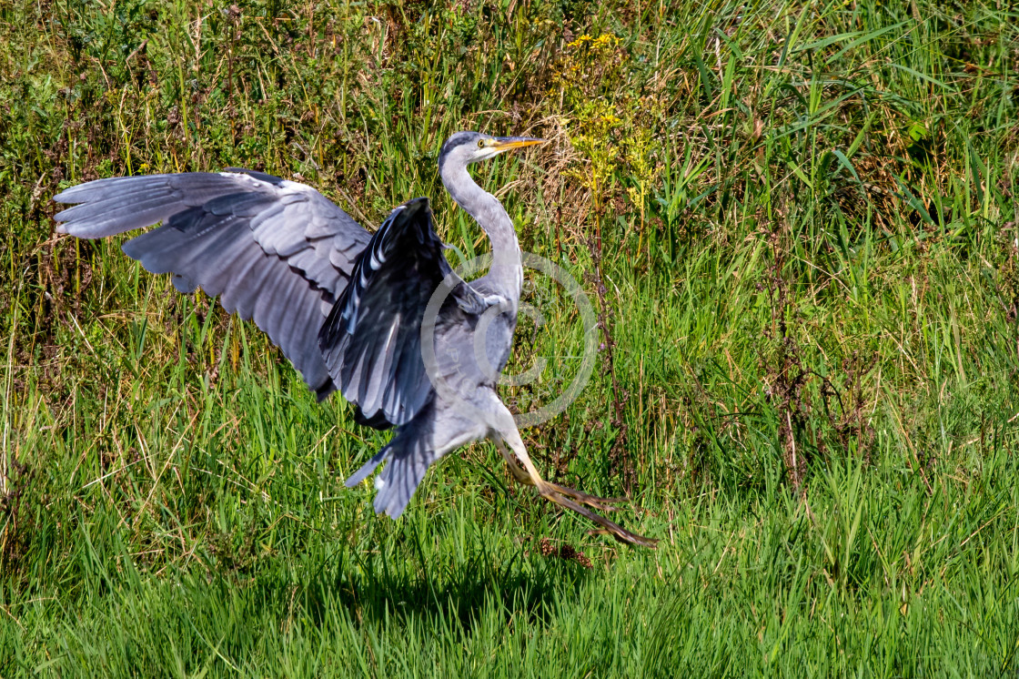 """Grey Heron on the hunt"" stock image"