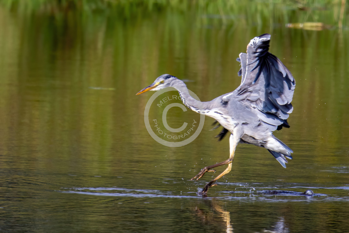 """Grey Heron on the hunt landing"" stock image"
