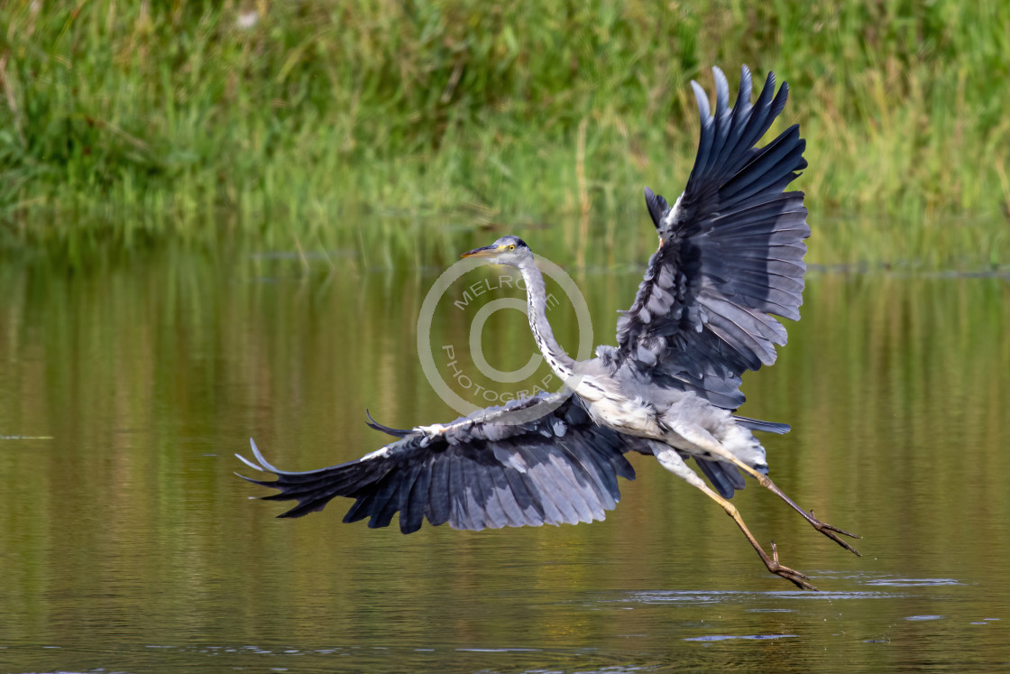"""Grey Heron on the hunt wings wide open"" stock image"