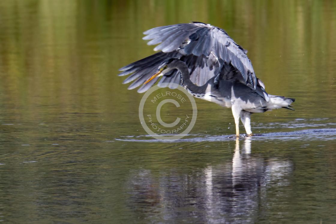 """Grey Heron on the hunt landing"" stock image"