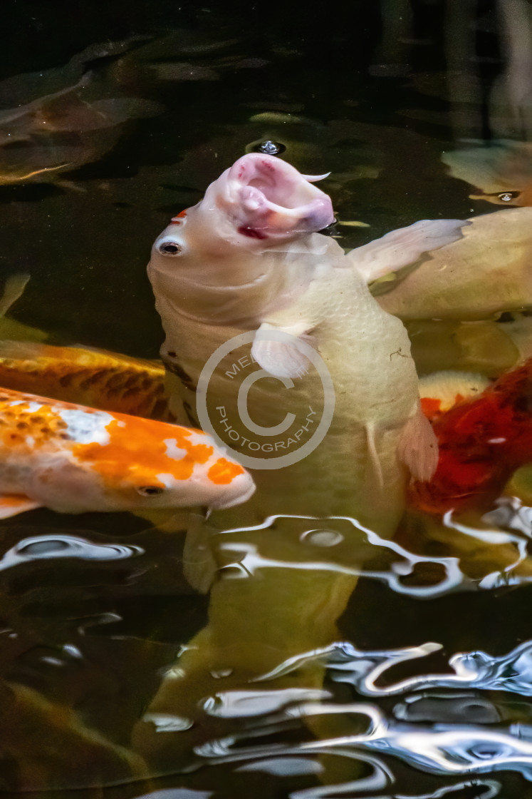 """""""Not Being Koi when it comes to food"""" stock image"""
