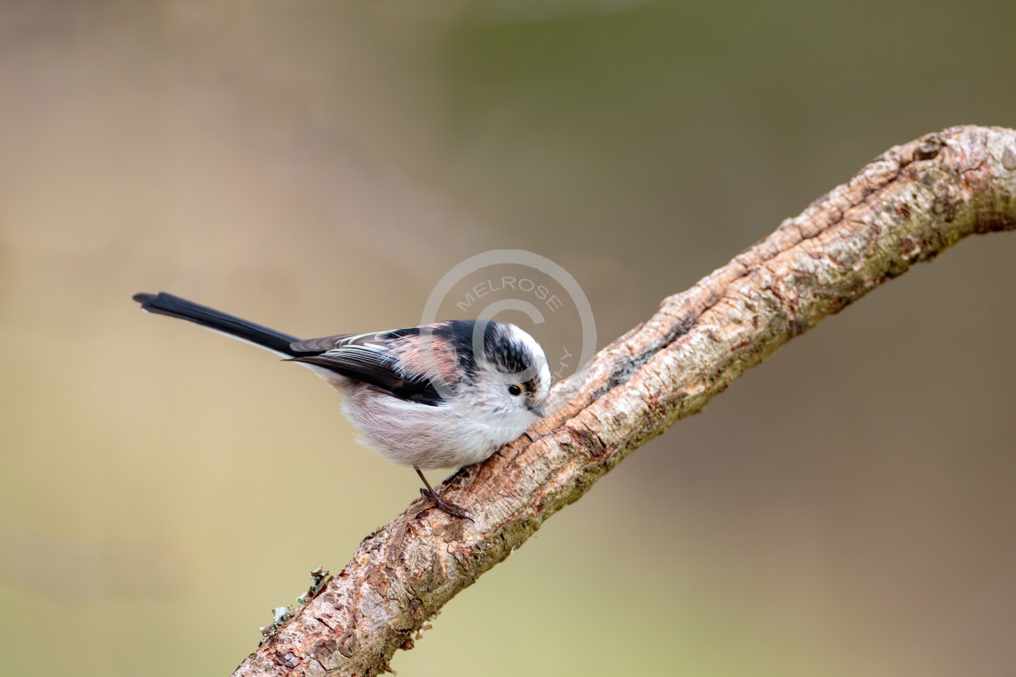 """Long Tailed Tit perched"" stock image"