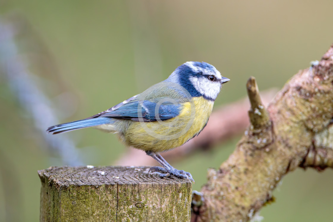 """""""Blue Tit Perched"""" stock image"""
