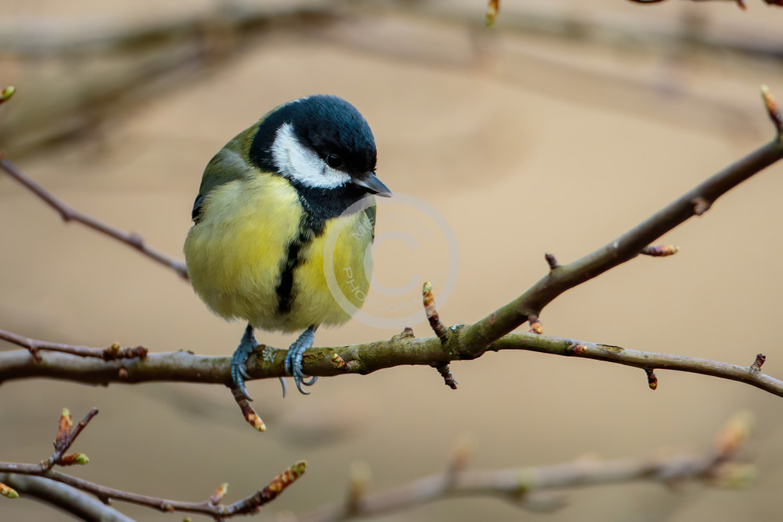 """Great Tit Perched"" stock image"