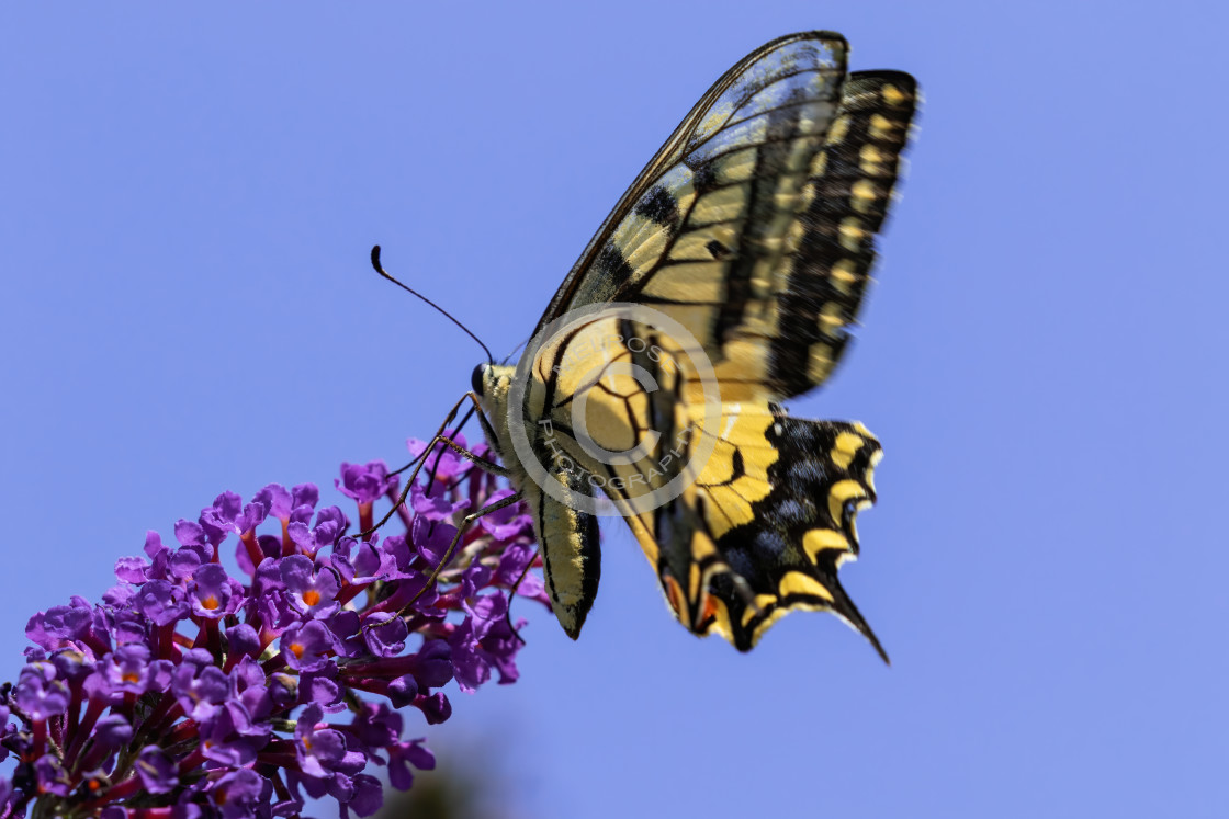 """Swallow Tail Butterfly"" stock image"