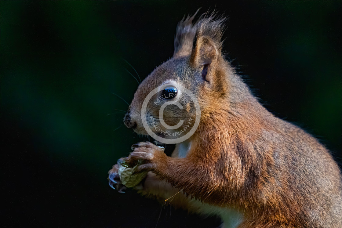 """Red Squirrel having Lunch"" stock image"