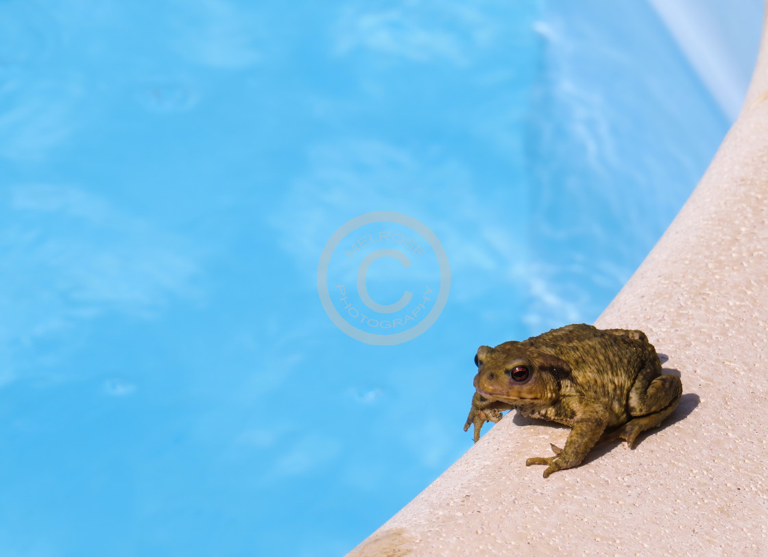 """""""Toad going for a dip"""" stock image"""