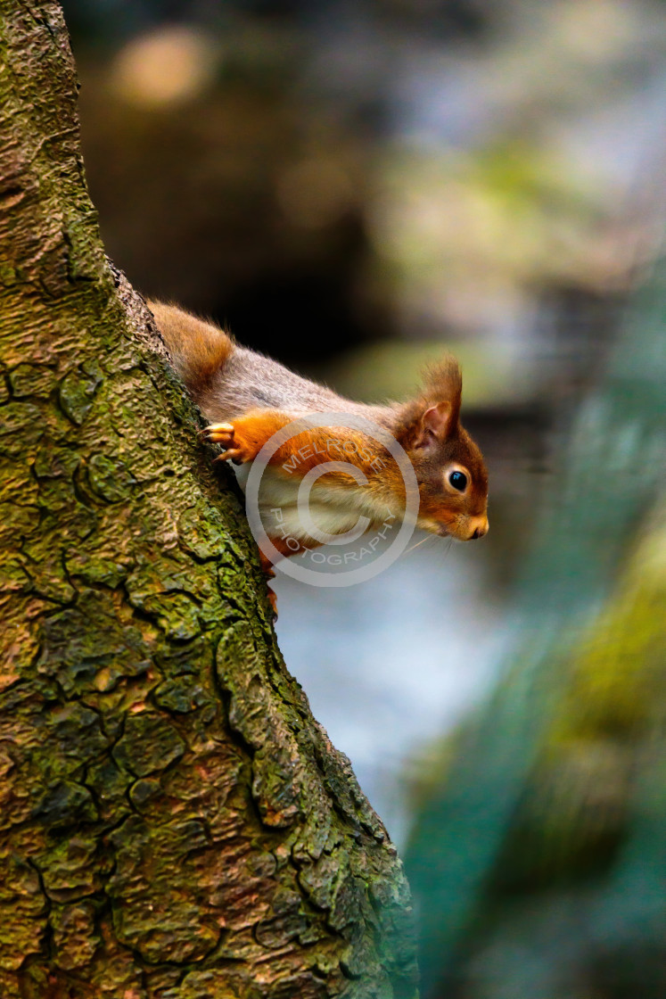 """Red Squirrel peeking from the tree"" stock image"